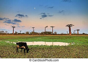 Baobab Zebu sunset moon