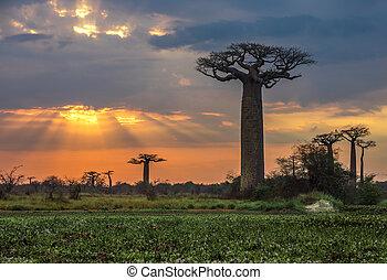 baobabs, madagaskar, aleja, na, wschód słońca