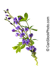 Baptisia flowers
