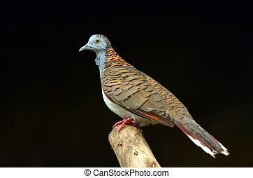 Bar-shouldered dove profile side view