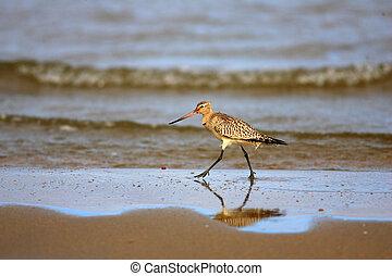 bar-tailed, godwit