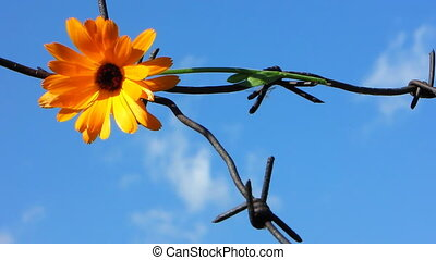 Barb wire 5 - The Flower and barbed wire.