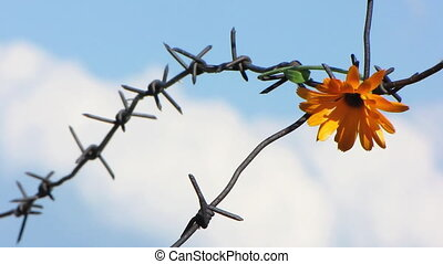 Barb wire 9 - The Flower and barbed wire.