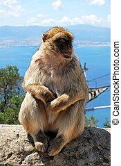 Barbary Ape, Gibraltar. - Barbary Ape (Macaca Sylvanus)...
