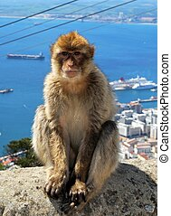 Barbary ape sitting on wall. - Barbaby Ape sitting on wall...