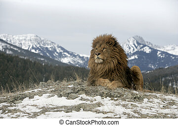 Barbary lion, Panthera leo leo - Barbary lion, Panthera leo...