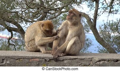 Barbary Macaque clean the fur on a wall on a hill