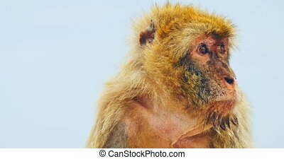 Barbary macaque, endemic animal - Close view of barbary...