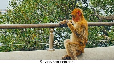 Barbary macaque from Gibraltar - Ape Barbary macaque sitting...