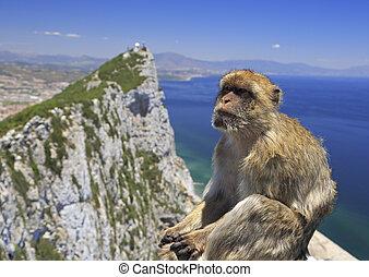 Barbary macaque in Gibraltar, Gibraltar (British Overseas...