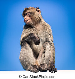 Barbary Macaque in Gibraltar, over blue sky.