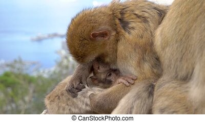 Barbary macaque nursing young, the whole monkey family together.
