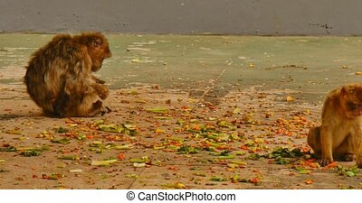 Barbary macaque on Gibraltar - Barbary macaque sitting on...