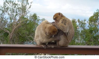 Barbary macaque on the iron railed in the wild in Gibraltar. cleans each other's fur
