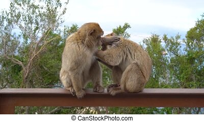 Barbary Macaque clean the fur on a wall on a hill in Gibraltar