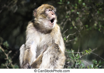 Barbary macaque yawn, in Gibraltar, the only place in Europe...
