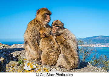 Barbary macaques family nestled to each other and thinking...