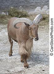 Barbary sheep (Ammotragus lervia). Wild life animal closeup