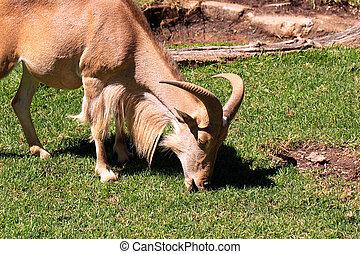 Barbary Sheep grazing - Ammotragus lervia - Female Barbary...