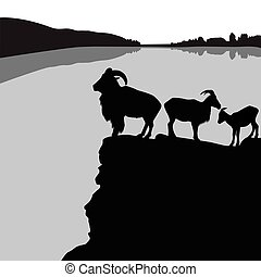 Barbary sheep - Herd of barbary sheep on a rocky hill