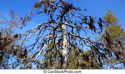 barbate lichen as indicators of air quality - On dead tree...