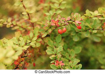 barberry berries on bush in autumn season