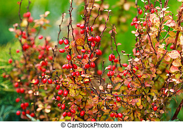 Barberry berries on bush in autumn season, shallow focus