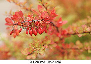barberry berries on bush in autumn season