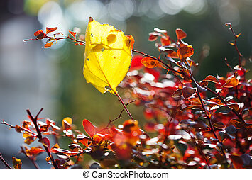 Barberry bush in autumn season, shallow focus