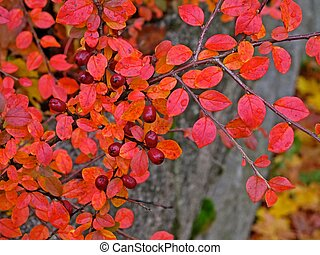 Barberry bush with red berries and leaves in fall.