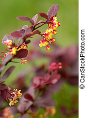 Barberry flowers. Good as floral background