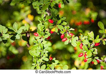 barberry, frutas rojas