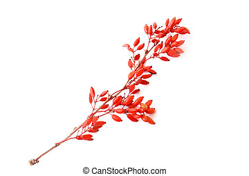 barberry isolated on white background
