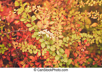 barberry leaves in autumn season