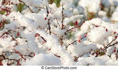 barberry, mûre, lent, fondre, neige, premier, rouges, beries