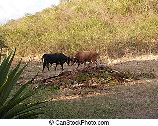 barbuda, kämpfen, antigua, stiere