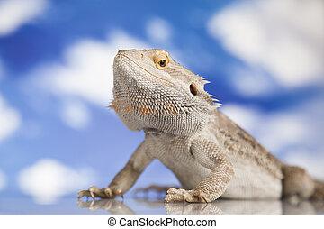 barbudo, animal estimação, céu, lagarto dragão, fundo