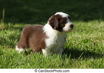 barbudo, filhote cachorro, jardim, collie