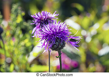 bardane, fleurir, (arctium, grand, lappa)