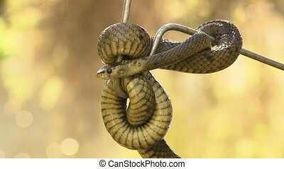 Bardick snake suspended in the air, curled around a metal pole
