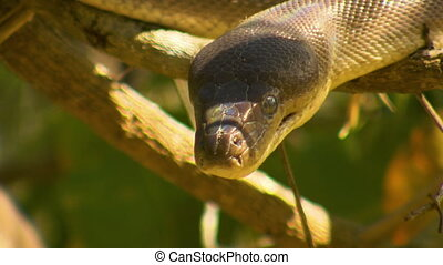 Bardick Snake Hanging From Tree - Steady, close up shot of...