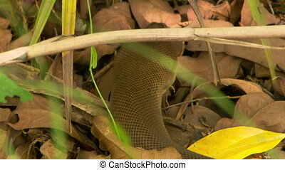 Bardick Snake Looking For Food - Handheld, close up shot of...