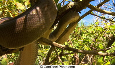 Handheld, close up shot of bardick snake coiling in a tree and slowly moving down.