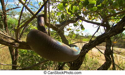 Bardick Snake Sprawled Through Tree - Handheld, close up...