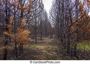 bare autumn coniferous forest with tall pine trees