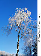 Bare birch tree with rime frost