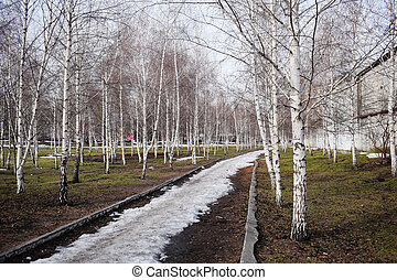 Bare birch trees. A birch tree forest in early spring. Path, forest background