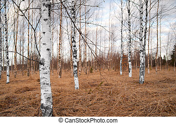 Bare birch trees
