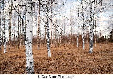 Bare birch trees