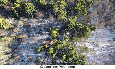 Bare birches and green fir trees in winter forest, aerial -...